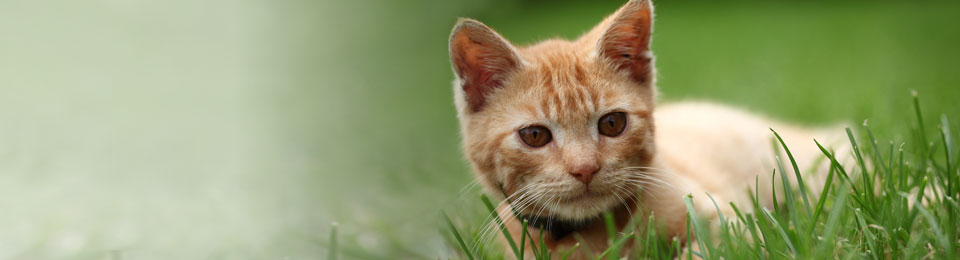 General-Image---Orange-Cat-in-Field