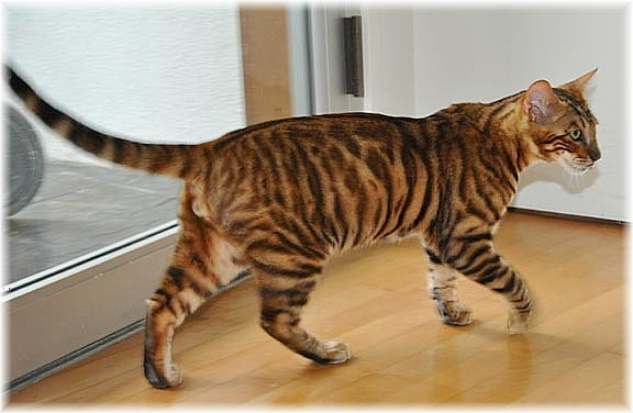 Toyger-Cat-Walking-Inside